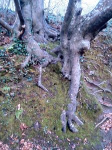 Beech tree hugging the steep bank with its roots