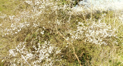 blackthorn grove Ogham tree meditations