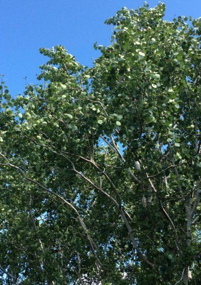 Celtic tree meditations aspen