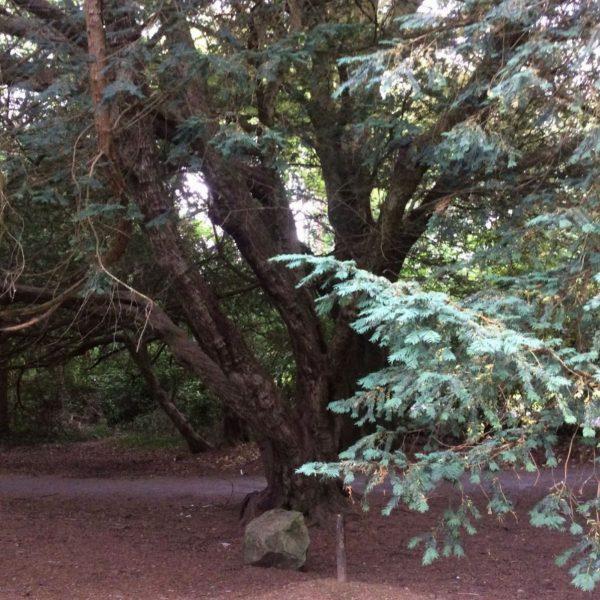 Celtic Tree Meditations yew