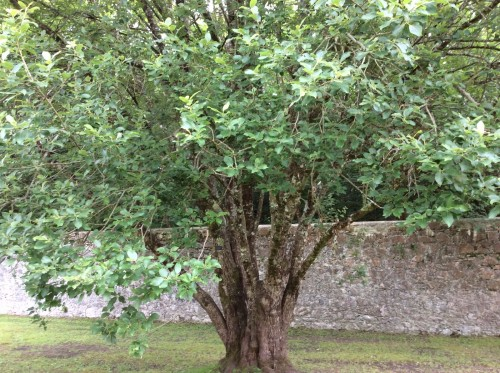 Willow tree in Coole Park