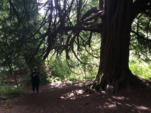 The Yew Tree is a key element in the Celtic Year calendar