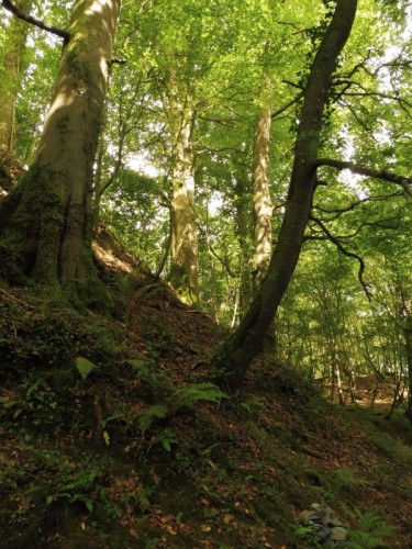beech trees on Following Gaia Trail South Galway