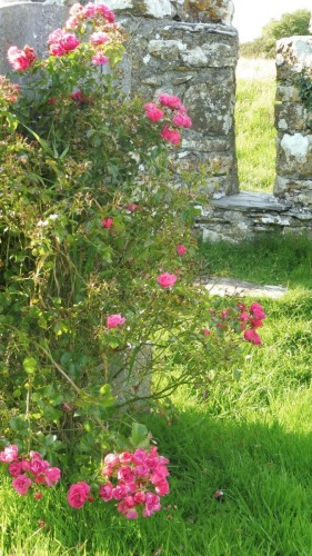 roses grace the graveyard on Holy Island County Clare
