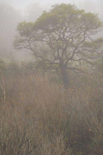 ancient pines in the Burren