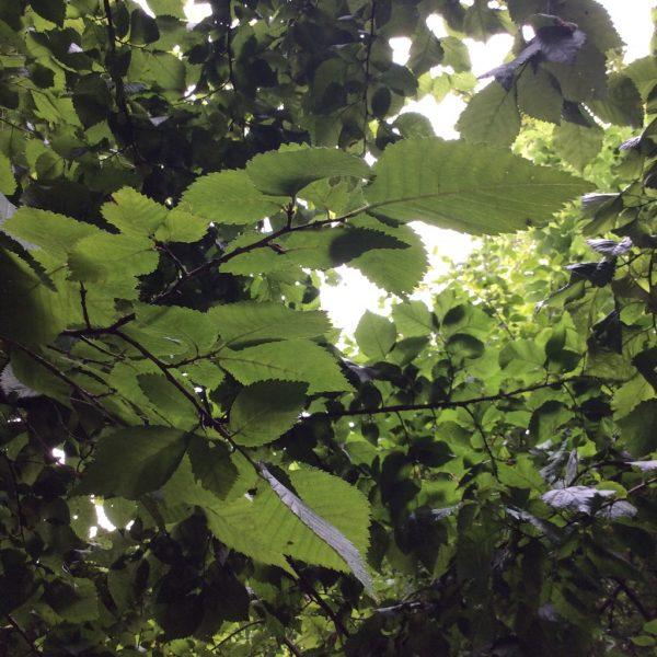 Celtic tree meditations on the elm season